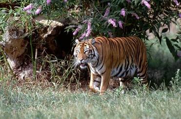 Image of: Definition Sumatran Tiger Kingdom Animalia Phylum Chordata Class Mammalia Order Carnivora Family Felidae Genus Pathera Species Tigris Ric The Six Kingdoms