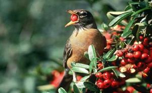 Robin Eating A Berry
